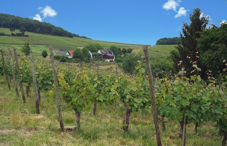 winegrowing: wine from the famous german mosel region