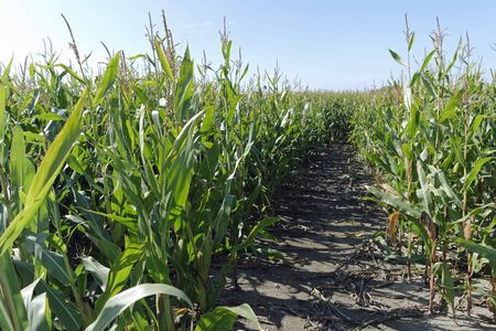 genetically modified crops: Maize