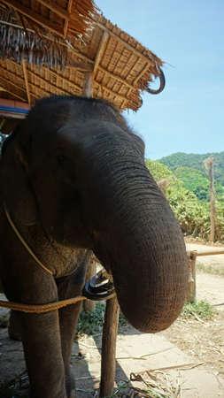 ko: asian elephants on ko lanta island