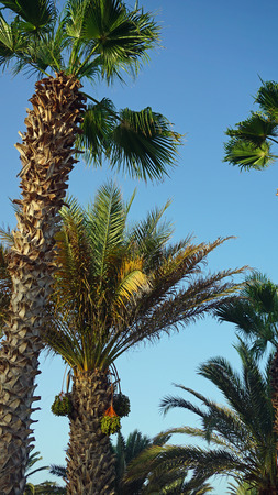 an        verde: african palm tree on cape verde