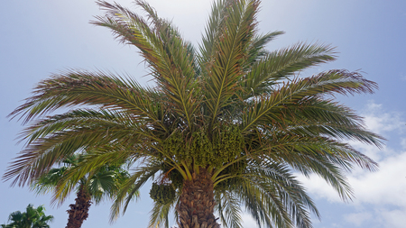cape verde: african palm tree on cape verde