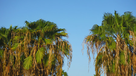 african palm tree on cape verde