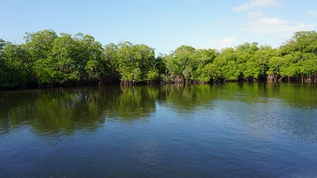 large mangrove forest near punta rusia in the caribbean sea