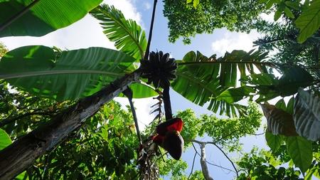 tropische fruitboom in de Dominicaanse Republiek