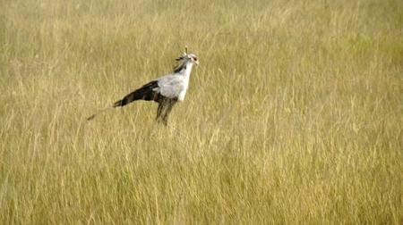 secretarybird in the savanna of kenyan national park