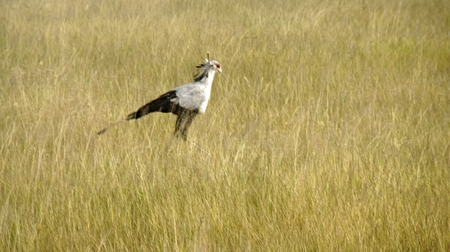 Secretarybird in the savanna of Kenyan national park Stock Photo