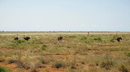 wild living ostrich bird in the savanna of national park in kenya Stock Photo