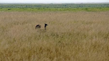 wild living giant bustard in the savanna of national park in kenya