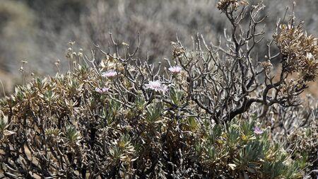 exotic green plants on teide volcano on tenerife island