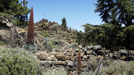 blooming rare red bugloss on tenerife island