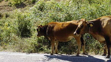 cows on a public highway in northern macadonia Stockfoto