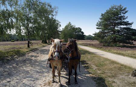 horseback ride coach in lueneburg in germany Banco de Imagens - 131825661