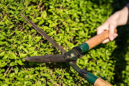 Pruner cutting a hedge Standard-Bild