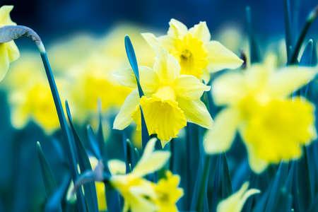 Daffodil meadow in spring Фото со стока