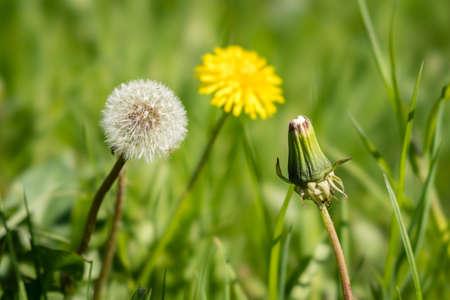 Blowballs - lions tooth - Löwenzahn Фото со стока