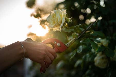 A wife cuts a rose with a red pruner. Standard-Bild