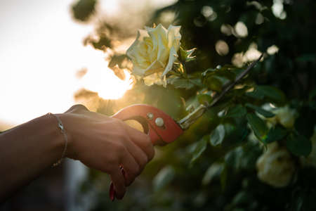 A wife cuts a rose with a red pruner. Фото со стока