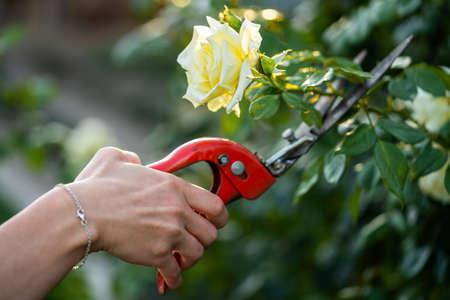 A woman cuts a rose with a pruner. Standard-Bild