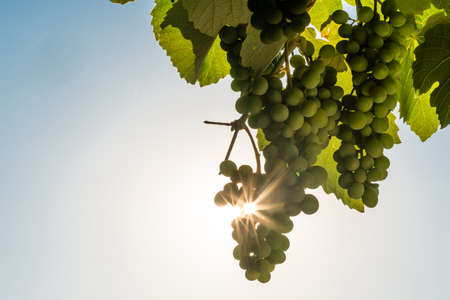 A bunch of grapes hanging around.