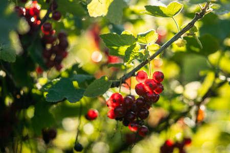 Some red currants on a bush. Фото со стока