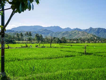 A rice field in Indonesia - Bali.