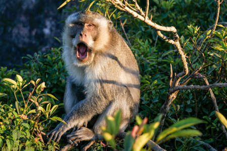 A yawning monkey in Indonesia.
