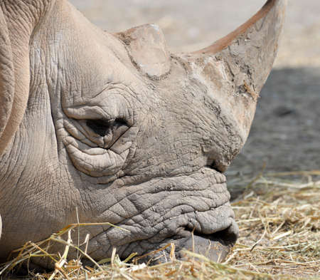 s horn: A close up photo of an endangered white rhino s face,horn and eye