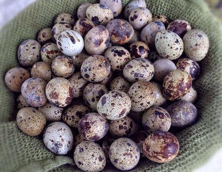 ova: A dozen quail eggs  Stock Photo