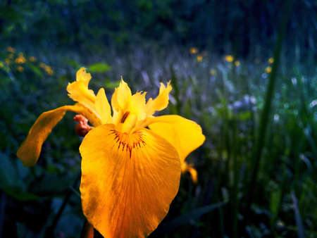 pale: Pale yellow iris Stock Photo