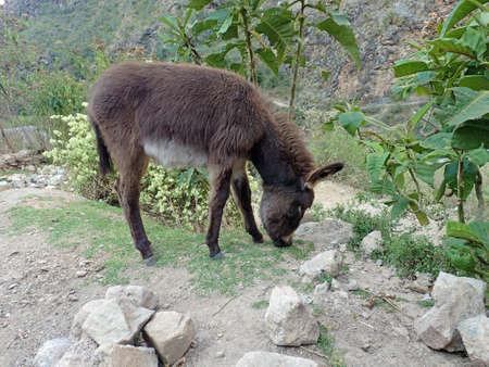 hilarious: Peruvian donkey eating