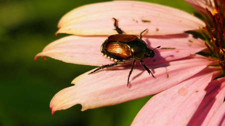 metalic: North American Beetle Insects Stock Photo