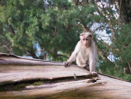 Wild Monkey near Munnar, Kerala, India Stock Photo