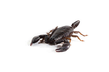 scorpion on white background photo