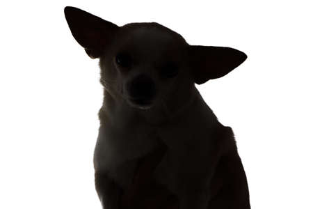 Silhouette of a dog chihuahua on white background photo