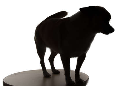 Silhouette of a small dog chihuahua on white background photo
