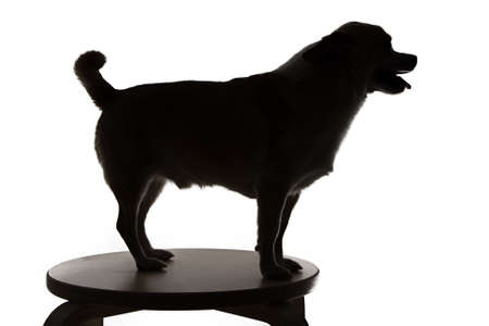 Silhouette of a chihuahua with open mouth on white background photo