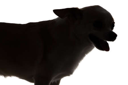 Photo of chihuahua with open mouth - silhouette on white background photo