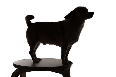 Photo of chihuahuas silhouette in profile on white background photo