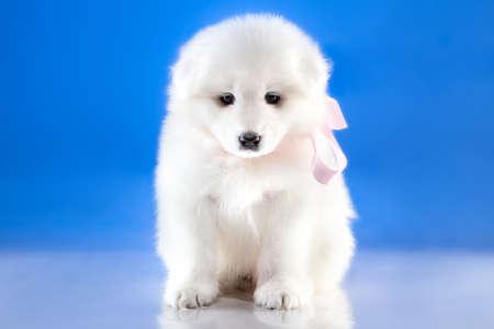whelp: Photo of whelp Samoyed breed on blue background Stock Photo