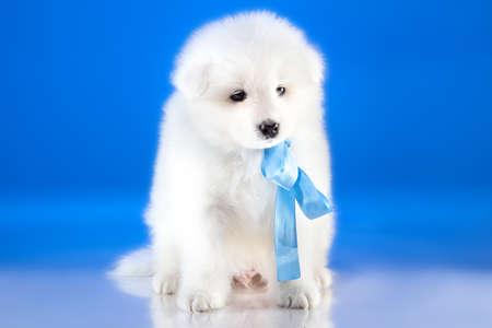 whelp: Image of whelp Samoyed breed on blue background Stock Photo