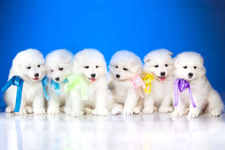 Image of puppies Samoyed breed on blue background