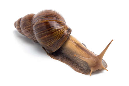 Photo of brown Achatina on white background Stock Photo