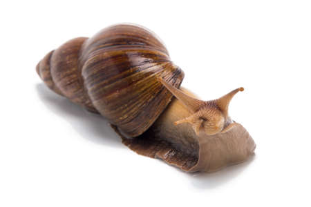 Image of curious Achatina on white background Stock Photo