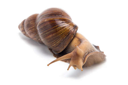 big slick: Photo of curious snail on white background