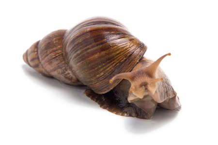 Photo of Achatina looking at camera on white background Stock Photo