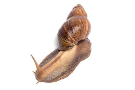 big slick: Photo of brown snail on white background Stock Photo