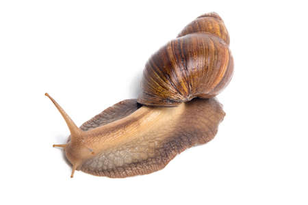 big slick: Image of brown snail on white background