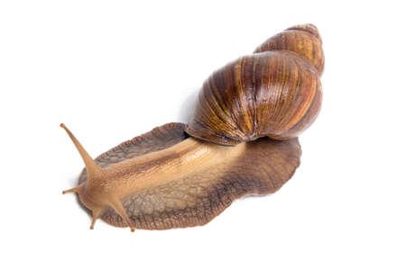 big slick: Photo of big brown snail on white background Stock Photo