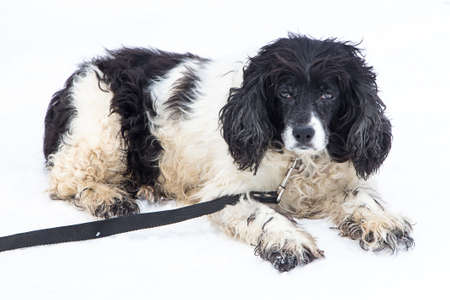 mongrel: Image of black and white mongrel dog on white background