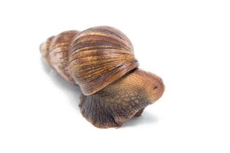 big slick: Photo of hidden snail on white background